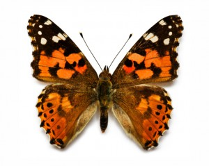 butterfly 20