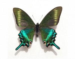 butterfly 32