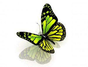 butterfly 43