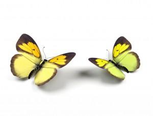 butterfly 52