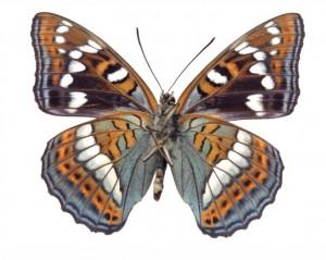butterfly 53
